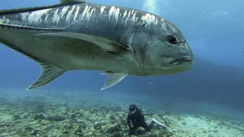 ウチザン礁のロウニンアジはフレンドリーでダイバーによく寄ってきてくれます。